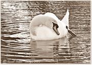 20th Dec 2014 - Shy Swan