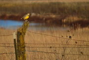 20th Dec 2014 - Meadowlark the Day Before Winter