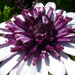 Trimmed in Purple