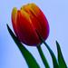 Tulip by elisasaeter