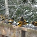 Evening Grosbeaks