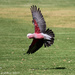 Galah in flight by flyrobin
