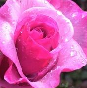 20th Dec 2014 - A Rose is a Rose