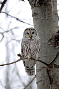23rd Dec 2014 - Whoooo's in your Forest!