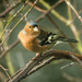 Chaffinch - 23-12 by barrowlane