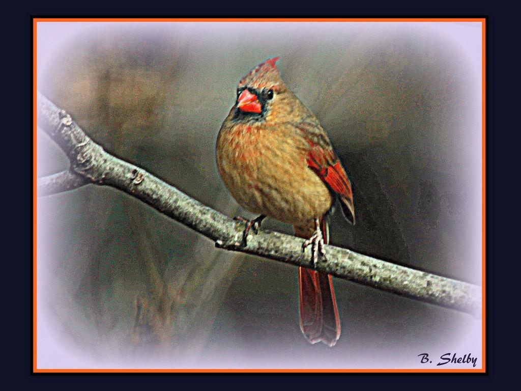Female Cardinal in Winter by vernabeth