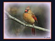 20th Dec 2014 - Female Cardinal in Winter