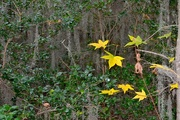 24th Dec 2014 - A few colorful lingering autumn leaves can be seen during my walks at Charles Towne Landing State Historic Site in Charleston.