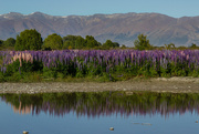 12th Dec 2014 - Russell lupins and the mountains