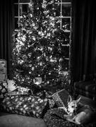 25th Dec 2014 - Foxy Saw Santa!