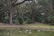 25th Dec 2014 - A peaceful interlude for visiting ducks at one of the small ponds at Charles Towne Landing State Historic Site in Charleston.