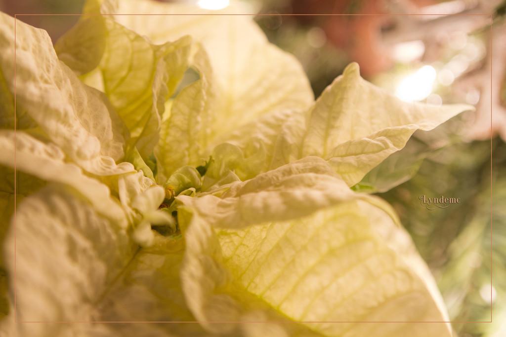 Poinsettia on Christmas Day by lyndemc