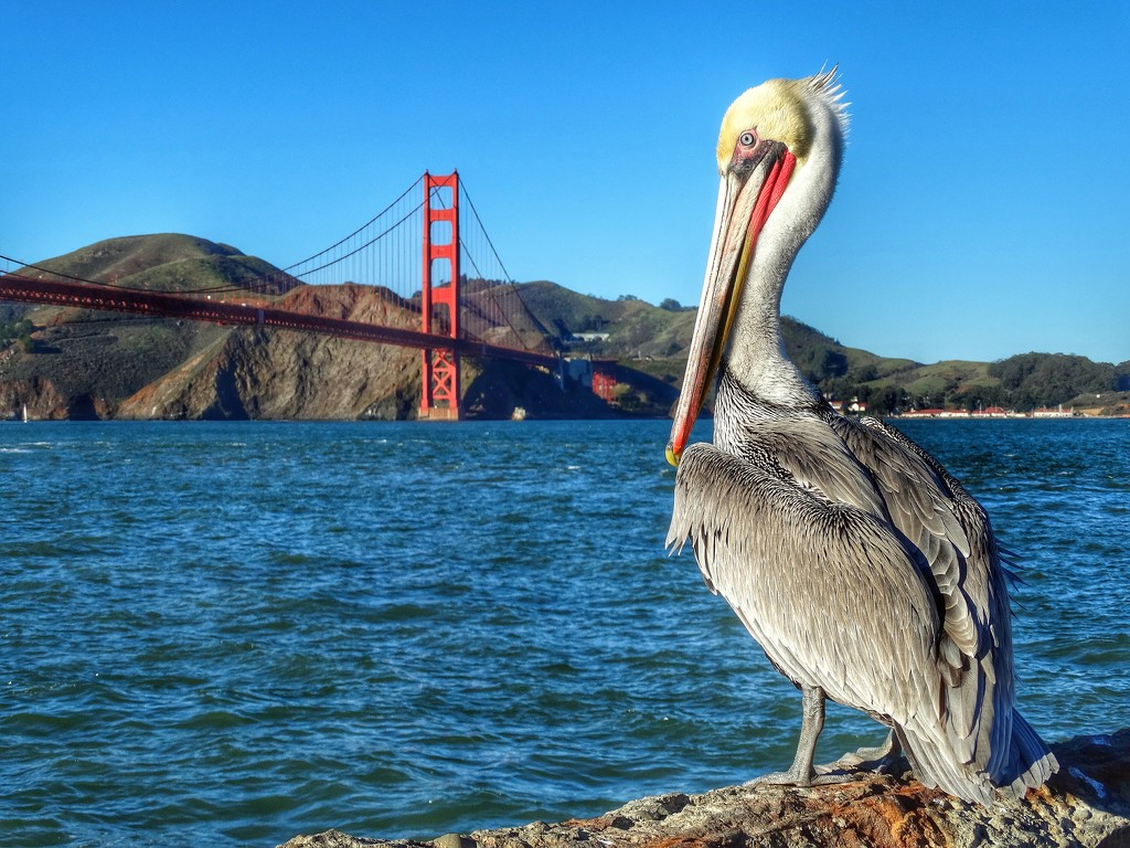 San Francisco Pelican by khawbecker