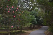 26th Dec 2014 - Path through the camellias, Charles Towne Landing State Historic Site, Charleston, SC