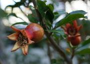 26th Dec 2014 - Pomegranate Babies