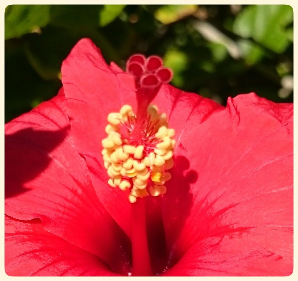 🌺 Hibiscus  by carolmw