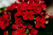 26th Dec 2014 - Red Kalanchoe