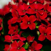Red Kalanchoe by elisasaeter