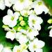 White Kalanchoe by elisasaeter