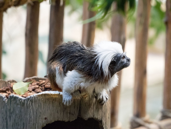 Cotton-top tamarin by rminer