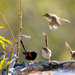 Fairy Wrens cooling off by bella_ss