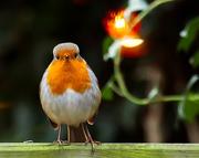 26th Dec 2014 - 26th December 2014 - Christmas Robin