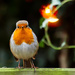 26th December 2014 - Christmas Robin