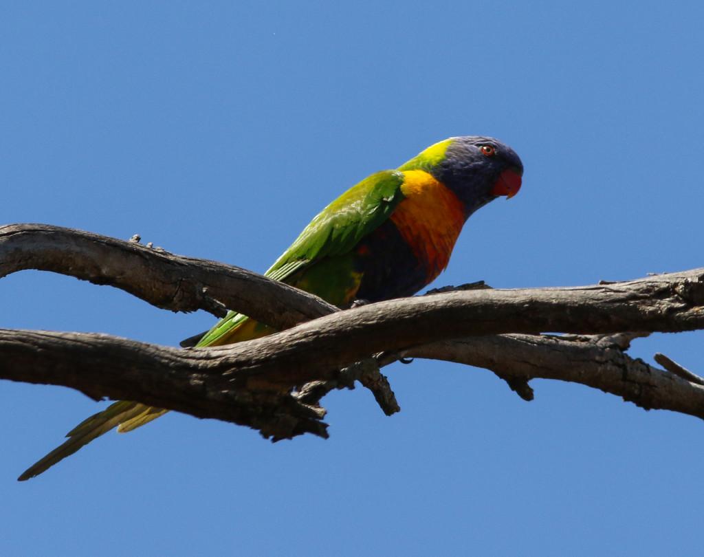 Rainbow lorikeet by flyrobin