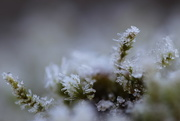 28th Dec 2014 - Ice and Moss