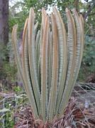 27th Oct 2010 - Tree Fern - Cycad