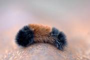 28th Dec 2014 - Winter caterpillar????