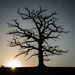 Old tree and sun - 28-12 by barrowlane