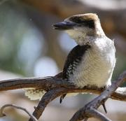 29th Dec 2014 - Young kookaburra