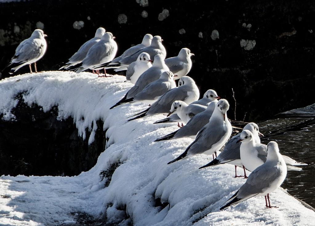 Snowbirds by shepherdman