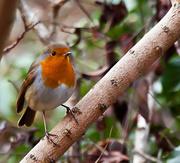 29th Dec 2014 - 29th December 2014 - My little Robin - again!!