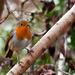 29th December 2014 - My little Robin - again!!