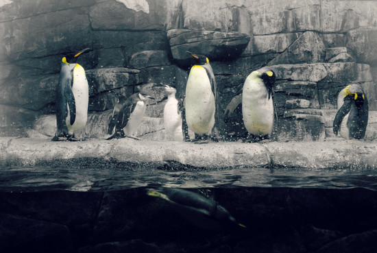 A Peek into the Penguins World by alophoto