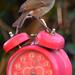 Robin on an alarm clock by richardcreese