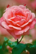 31st Dec 2014 - May your New Year be rosy