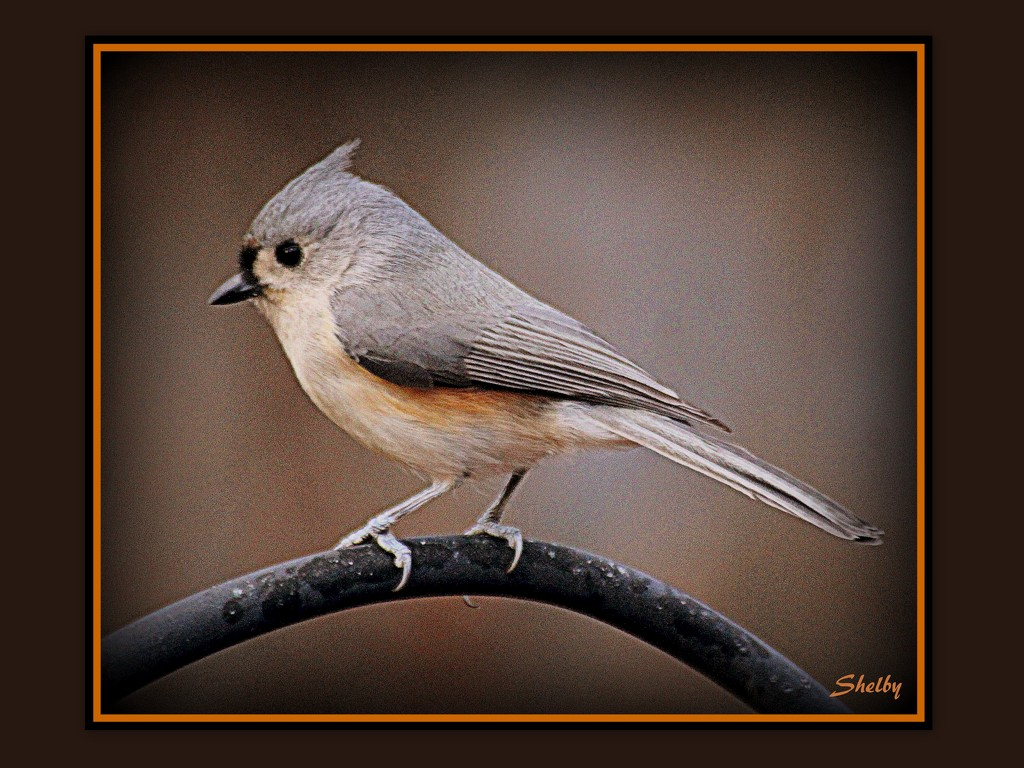 Tuffed Titmouse by vernabeth