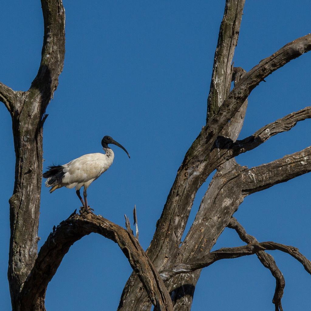 Ibis by gosia