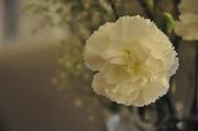 27th Oct 2010 - Carnation