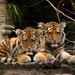 Tiger Cubs by leonbuys83