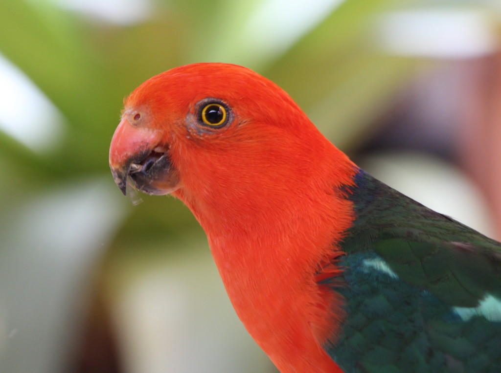 King Parrot 2 by terryliv