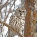 Barred OWL! by fayefaye