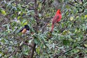 3rd Jan 2015 - Two birds in the bush