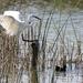 Eastern Great Egret landing by flyrobin