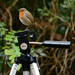 Robin on a tripod by richardcreese
