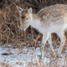 Fallow Deer by shepherdmanswife