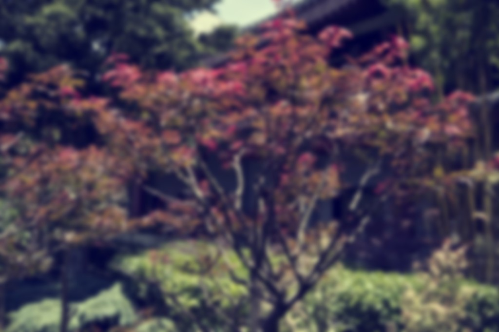 Japanese maple by brigette